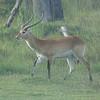 030_Okavango Delta, Moremi Game Reserve  4WD Safari  Male Impala, lyre-shaped horns  1 male for 50 females  Male Alpha last one week