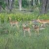 028_Okavango Delta, Moremi Game Reserve  4WD Safari  Impala herd with one male (lyre-shaped horns)