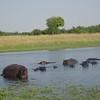 121_Okavango Delta, Moremi Game Reserve  4WD Safari  Hippopotamus herd  One Alpha Male