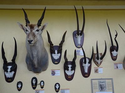 303_Swakopmund  Museum  20 Antelope Species