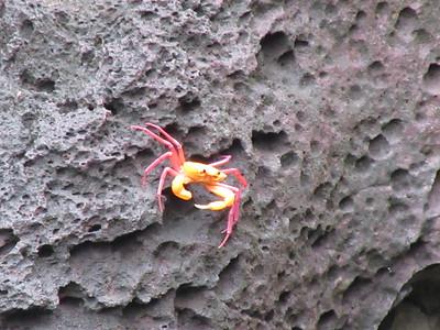 190_Ankarana NP  Vers la Grotte des Chauves Souris  Crabe multicolore
