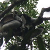 357_Indri Indri  Largest lemur  65cm,13kg  Small tail, bw markings  Leaves  Monogamous