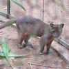314_Fosa  Carnivore  Sorte de petit puma  Bon grimpeur, il chasse les lémuriens