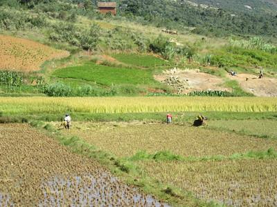 235_Rice paddies  60% des terres cultivées