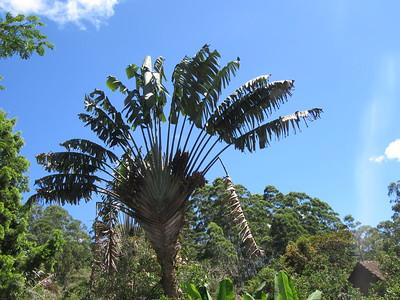 265_Le Ravinala (l'Arbre des Voyageurs)  Traveller's Palm  10-20m de haut