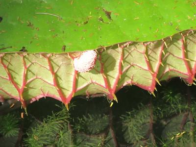 118_Giant Water Lily  Les épines pour se protéger des poissons (Tilapias)