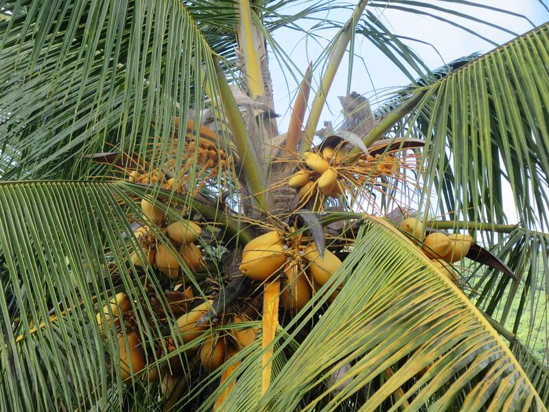 043_Mahé Island  Coconut Tree