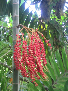 069_Botanical Gardens  Buissons rouges  Il en existe de d'autres couleurs