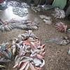 241_Zanzibar Stone Town  Darajani Market  Selling Fishes at Wholesale