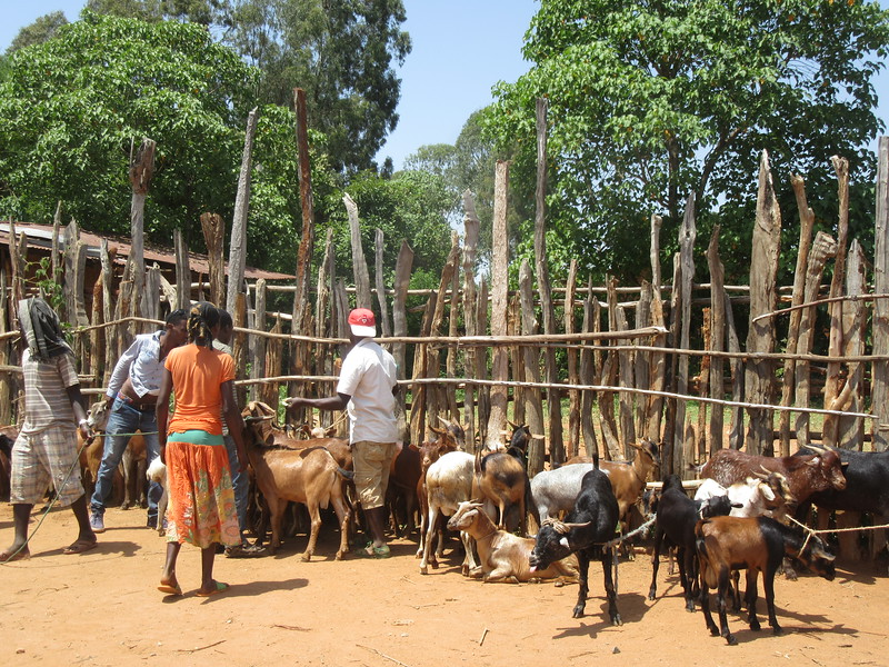 843_Key Afer  Livestock Market  Goat and Sheep  Sold for $10-15 US  For food, cheese, milk