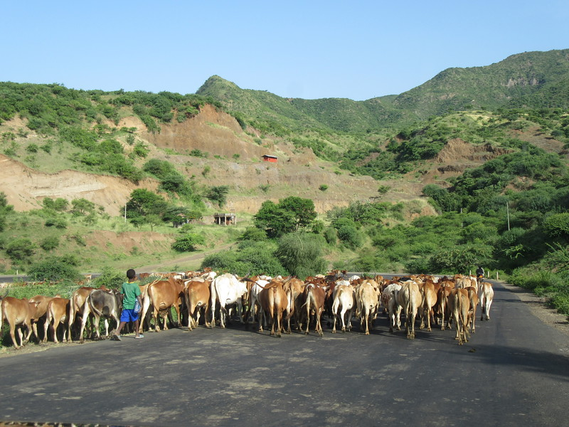 651_Kids, less than 10 years-old  Leading the cattle to pasture  Morning and afternnon  Do not go to school