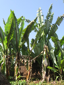 640_Dorze Village  The Enset  The False Banana Tree  The staple food of ther southern ethnic group