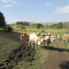 430_Tis Abay Village  Preparing for Rainy Season  Ploughing the field  An adult beef is worth 10,000 BIRR ($400 US)