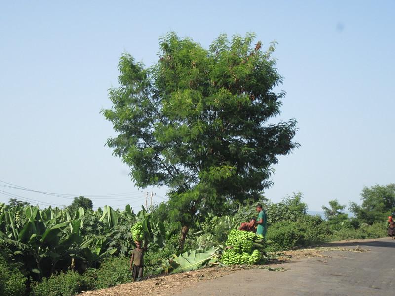 652_Banana crop