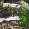 589_Arba Minch  Market  Basil and Lemon Grass