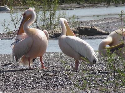 603_Arba Minch  Parc National de Nechisar  Lake Chamo Boat trip  Great White Pelicans