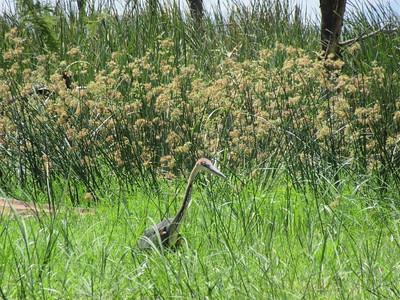 607_Arba Minch  Parc National de Nechisar  Lake Chamo Boat trip  Grey Heron