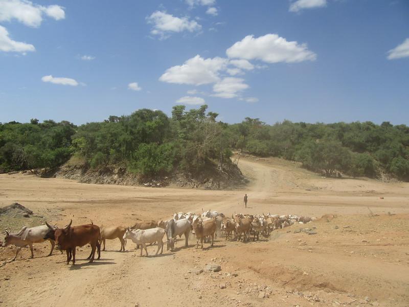 764_Omo Valley  Turmi  Cattle crossing the Kezo River