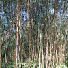 629_Dorze Village  Bamboos Forest  Grows (like a spear) at altitude of 2,500m and up