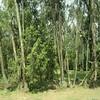 456_The Entoto Footslopes  Eucalyptus Trees