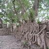 361_Gondar  Fasiledas's Bath  Figue Trees