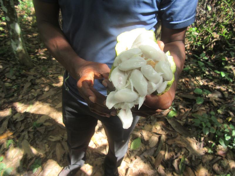 037_Aniassué  Champ de Cacao (Chocolat)  2 de 4  Des Cabosses  2 récoltes par an (1 grosse et une petite)  La coquille va servir d'engrais