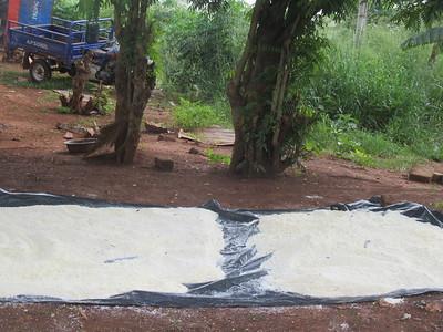 045_Aniassué  Semoule de manioc (Attieké)  5 de 7  Séchage au soleil