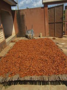 039_Aniassué  Cacao  4 de 4  On laisse sécher au soleil pour 7 jours