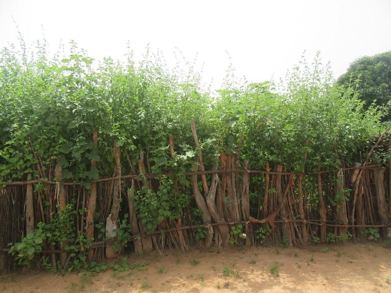018_Casamance  Maison typique (en banco)  10 de 21  La Clôture arriàre et les plants d'épices (menthe)