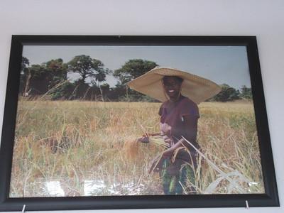 038_Casamance  Récolte du Riz