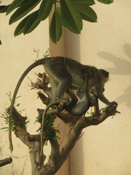 008_Serekunda  At my resort  Momkeys (Baby and Mom)