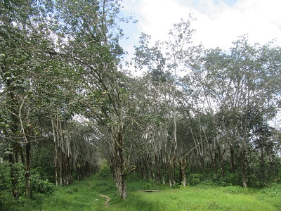 047_Firestone  Harbel Town  The World's Largest Rubber Plantation  A Rubber tree is good for 50 years  From seed to harvest, 10 years