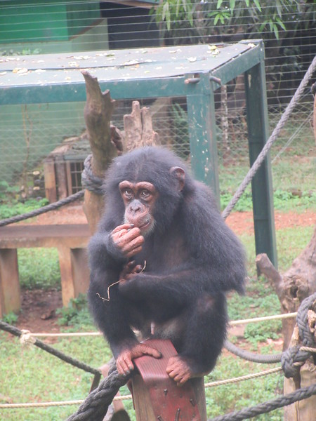 140_Tacugama Chimp Sanctuary  Group 3  8 to 12 years-old  The Alpha-male