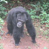 128_Tacugama Chimp Sanctuary  Group 1  The Alpha Male  110kg  Tito, 26 years-old