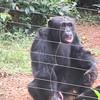 133_Tacugama Chimp Sanctuary  Group 2  The Alpha-Male