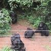 129_Tacugama Chimp Sanctuary  Group 1  Females (50kg) and Alpha-Male