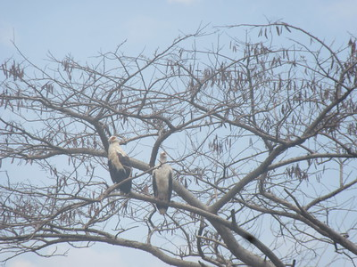 042_Parc National de la Rusizi  Aigles Pêcheurs