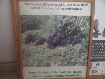 032_Parc National de Kahuzi-Biega  The World's Largest Gorilla Species