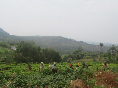 030_Rusizi  Tea Fields