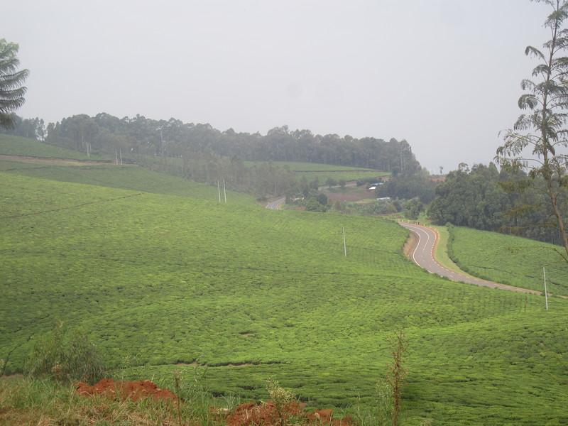 026_Rusizi  Tea Fields