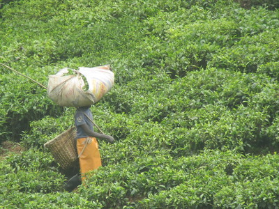 031_Rusizi  Tea Fields