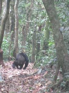 025_Nyungwe National Park  Chimpanzee