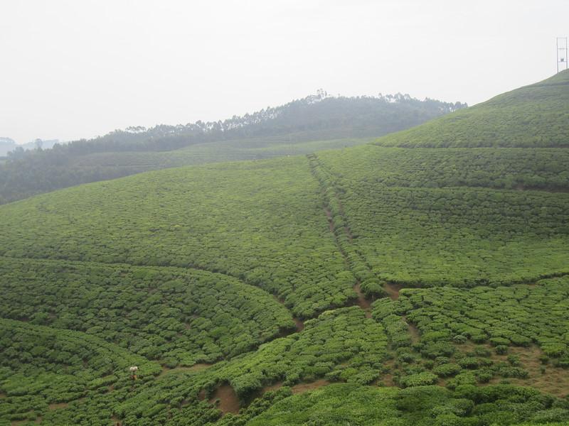 028_Rusizi  Tea Fields