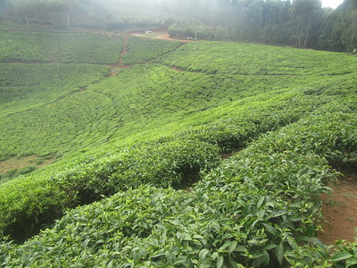 029_Rusizi  Tea Fields
