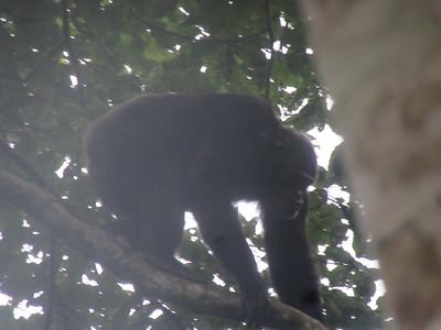 022_Nyungwe National Park  Chimpanzee