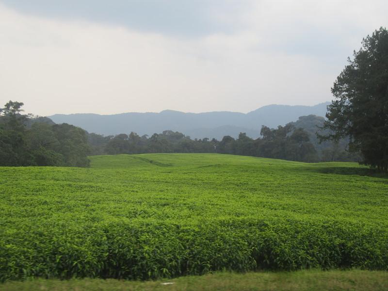 027_Rusizi  Tea Fields