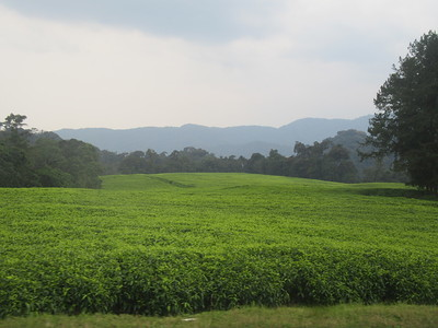 027_Rusizi  Tea Fields