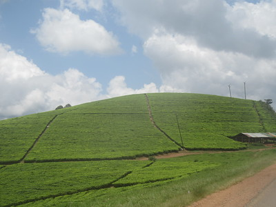 030_From Lake Bunyonyi to Queen Élisabeth National Park  Tea Field