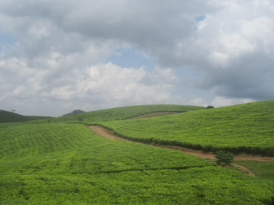 031_From Lake Bunyonyi to Queen Élisabeth National Park  Tea Field