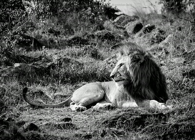Male Lion glk-7538 mpw BW